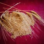 Gli antichi grani siciliani