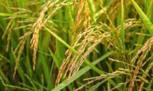Antiche varietà di riso